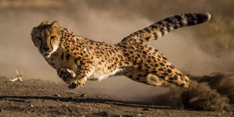 Top 10 fastest big cats in the world