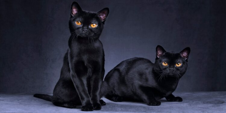 Common myths about Bombay cats